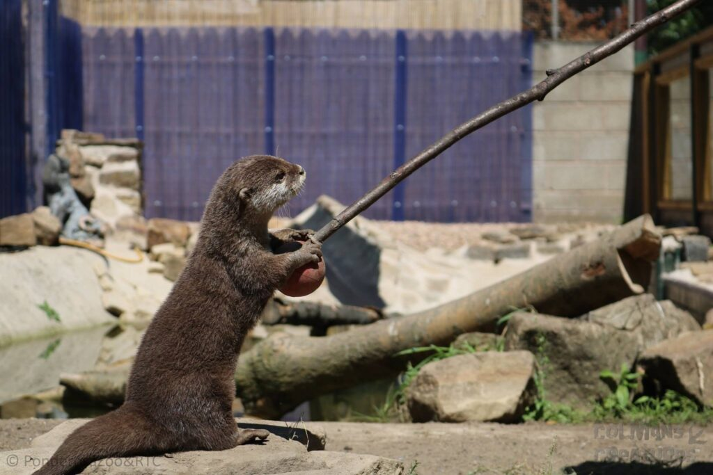 Otter at Ponderosa Zoo, Heckmondwike