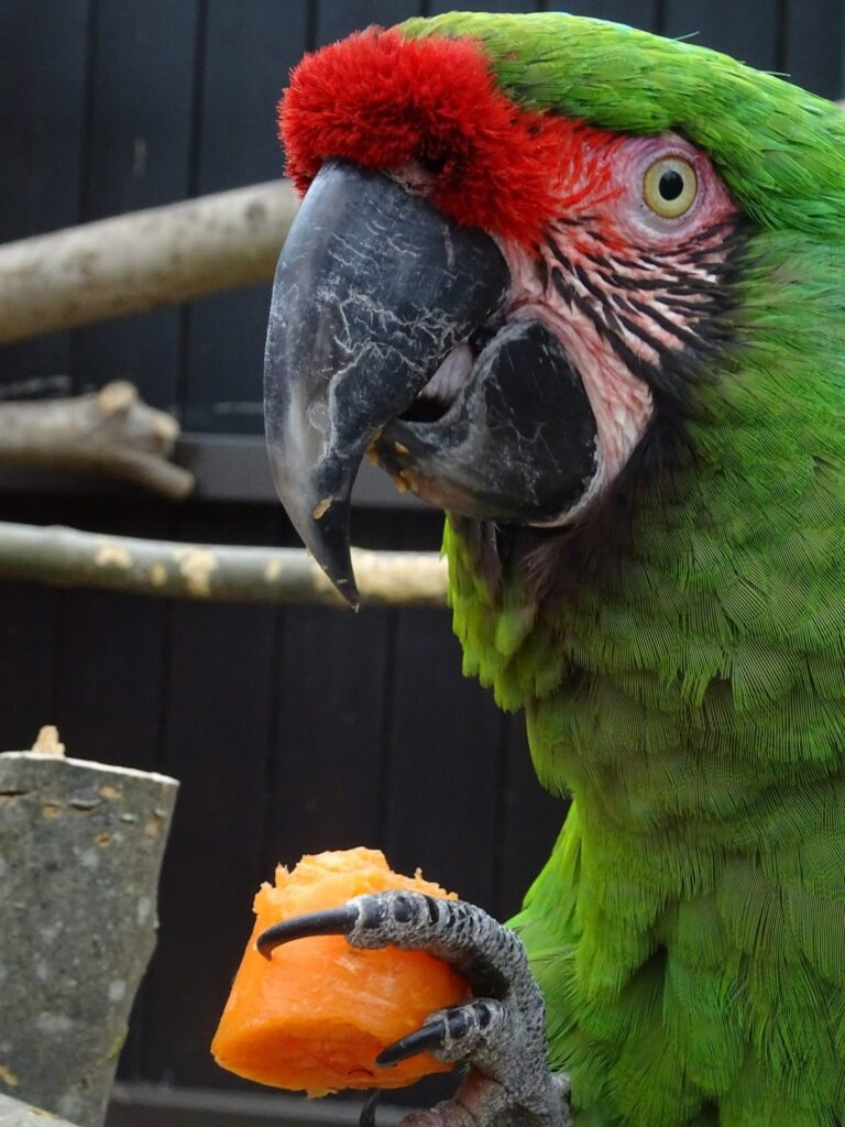 Parrot at Ponderosa Zoo, Heckmondwike